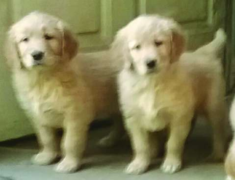 ​GOLDEN RETRIEVER PUPS