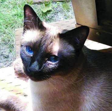 LOST SIAMESE CAT, HAYDEN